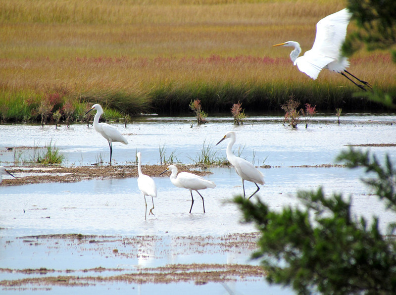 The various wading birds at Stone Harbor and elsewhere included both Great and Snowy Egrets. (Photo by participant Dixie Mills)