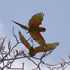 Participants David and Judy Smith returned with this attractive image of the pair of Red-fronted Macaws, endemic to central Bolivia, we saw at close range on our tour.