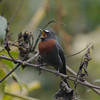 """We had great views of the lovely southern """"Maroon-belted"""" form of Slaty-backed Chat-Tyrant along the Tablas Monte road. (Photo by participants David and Judy Smith)"""