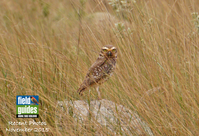 In this month's gallery we'll be visiting South Africa, Australia, Peru, and Brazil -- where participants David and Judy Smith obtained this lovely image of a Burrowing Owl -- but first, let's visit Colombia...