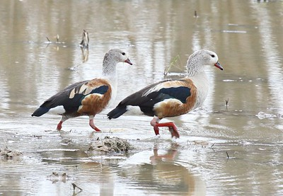 Orinoco Geese are among the very snazziest of tropical waterfowl. (Photo by guide Jesse Fagan)