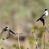 Fork-tailed Flycatcher Bill Byers