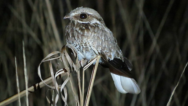 We were tickled to encounter such a cooperative White-winged Nightjar. Photo by participant Slyvia Hanson.