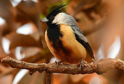 The lovely Coal-crested Finch inhabits savannas in central Brazil. Photo by participant Brian Stech.