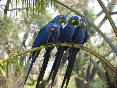 Hyacinth Macaws, the world's largest parrot, comprise an iconic species of Brazil's Pantanal. Photo by participant Sylvia Hanson.