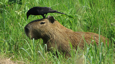 Capybaras are large but certainly not cow-sized. This Giant Cowbird didn't seem to mind. Photo by participant Sylvia Hanson.