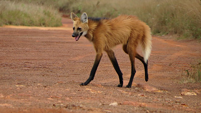 The exceptionally long legs of a Maned Wolf are thought to be an adaptation to life in the tall grasslands that they prefer. Photo by participant Sylvia Hanson.