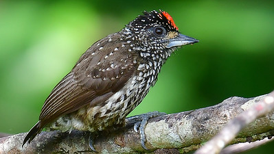 This White-wedged Piculet was most obliging. Photo by participant Brian Stech.