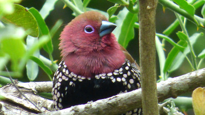 The wildly patterned Pink-throated Twinspot is in the Waxbill family. Photo by participant Cathy Douglas.