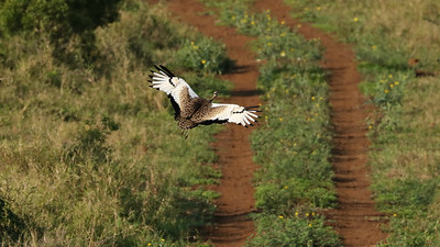 Cryptic on the ground, a Black-bellied Bustard becomes eye-catching in flight. Photo by participant Kathleen John.
