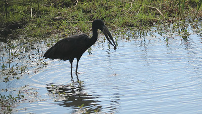 The beak of the African Openbill is highly evolved to specialize in the consumption of snails. Participant Kathleen John caught this individual in the act.