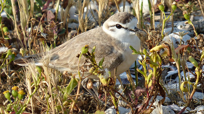 Participant Cathy Douglas shared this wonderful image of a White-fronted Plover.
