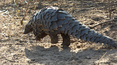 This amazing creature is a type of anteater called a Ground Pangolin. It was a lifer for guide Terry Stevenson, too, after 41 years in Africa! Sadly, the species' future is threatened due to illegal poaching. Photo by participant Cathy Douglas.