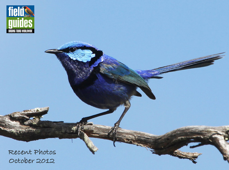 We begin this month in the Land Down Under, where the fairywrens of Australia provide serious eye candy with some of the best blues in the bird world. This male Splendid Fairywren was a standout on one of our recent Australia tours. (Photo by guide Chris Benesh)