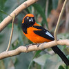The fiery and flashy Orange-backed Troupial is fairly widespread in Amazonia. (Photo by guide Dan Lane)