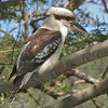Laughing Kookaburra -- one of Australia's most symbolic species. (Photo by guide Eric Hynes)