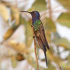 How do you choose a favorite hummer? Swallow-tailed Hummingbird might be the one for some people. (Photo by guide Dan Lane)