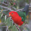 The bold and the beautiful -- a male Australian King-Parrot. (Photo by guide Eric Hynes)