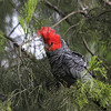 Despite a cold, rainy start to the day, we were all steaming up the bus over Bob H. and Tom K.'s spotting of this male Gang-Gang Cockatoo in The Grampians. (Photo by guide Eric Hynes)
