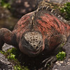 This Marine Iguana seems to be smiling. We would too if we lived on the Galapagos. (Photo by participant Kevin Heffernan)