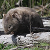 Wombat -- isn't that just fun to say? Australia has many special and bizarre mammals, and Wombat is definitely one of them. (Photo by guide Chris Benesh)