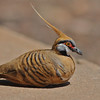 Several participants thought Dr. Seuss Pigeon would be a better name for the oddly beautiful Spinifex Pigeon. (Photo by guide Eric Hynes)