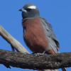 This handsome male White-browed Woodswallow was part of a large flock whose behavior reminded many of us of waxwings. (Photo by guide Chris Benesh)