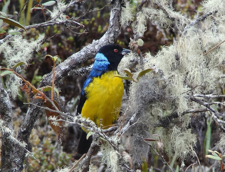 Hooded Mountain-Tanagers always steal the show. (Photo by guide Dan Lane)