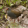 This Paint-billed Crake cooperatively struck a pose for participant Kevin Heffernan.