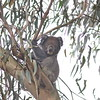 The Koala is one of Australia's most iconic mammals. Koalas spend most of their day inactive, dozing while wedged in the crotch of a limb. (Photo by guide Eric Hynes)