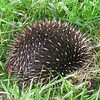This peculiar mound of spikes is a Short-beaked Echidna. It is one of the three egg-laying mammal species in the world.  When feeling threatened, they quickly corkscrew into the ground and puff themselves up. (Photo by guide Eric Hynes)