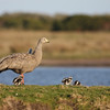 Cape Barren Goslings score pretty high on the cute index. (Photo by guide Eric Hynes)
