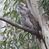 The cryptically plumaged Tawny Frogmouth is an expert at chilling out. (Photo by guide Eric Hynes)