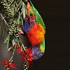 Hanging upside to feed is no problem for the acrobatic and fantastically colored Rainbow Lorikeet. (Photo by guide Eric Hynes)