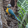 The Beni extension to the Bolivia tour targets the spectacular and highly endangered Blue-throated Macaw, and numerous other stunning species make it an exciting addition to the main tour. (Photo by guide Dan Lane)