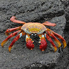 There is nothing like a dark volcanic rock background to really make the colors of a Sally Lightfoot Crab pop. (Photo by participant Karen Darcy)