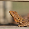 This Bearded Dragon was soaking up the morning sun in Alice Springs. (Photo by guide Eric Hynes)