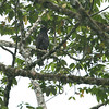 A Black Hawk-Eagle at Silanche on the West Slope (Photo by guide Dave Stejskal)