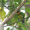 Wow, here's an eyeful: a fantastic Orange-breasted Fruiteater at Refugio Paz. (Photo by guide Dave Stejskal)
