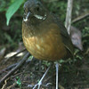 This Moustached Antpitta put on quite a show at Refugio Paz. (Photo by guide Dave Stejskal)