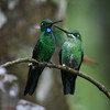 A pair of fantastic Green-crowned Brilliants, with the male on the left, at Milpe on the west slope of the Andes. (Photo by guide Dave Stejskal)