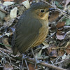 A stop at the Yanacocha reserve about Quito is a must, and this Tawny Antpitta gave us some fantastic views there. (Photo by guide Dave Stejskal)