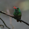 A Rufous-tailed Hummingbird at Milpe showing off its brightly colored bill. (Photo by guide Dave Stejskal)