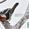 This month's recent photos cover a small sampling of our recent tours from New Guinea and Ecuador to Brazil, Peru, and France. Our cover image above is of a Black-spotted Barbet from our Rio Negro Paradise tour to Manaus, Brazil. (Photo by guide Marcelo Padua)