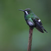 A female Green Thorntail at Milpe...one very cool, striking, and tiny hummer! (Photo by guide Dave Stejskal)