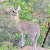 Klipspringer, Masai Mara -- among the smallest of the African antelopes (Photo by guide Terry Stevenson)
