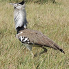 Strutting the stuff, and impressively so: Kori Bustard in the Masai Mara (Photo by guide Terry Stevenson)