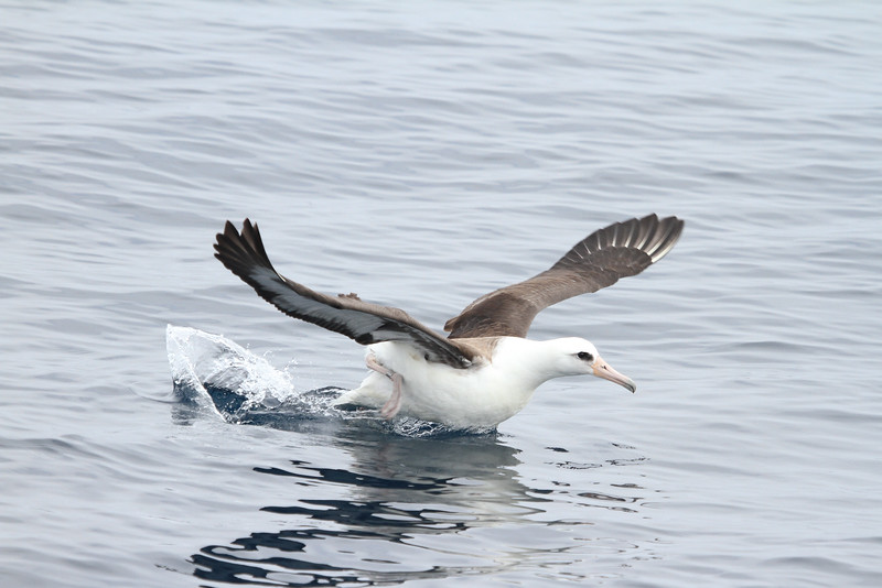 In addition to the Black-footed, our group enjoyed great views of this Laysan Albatross off the coast. (Photo by participant Chris DeCilio)