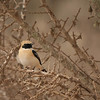 Black-eared Wheatear, one of seven species of wheatears seen on the Morocco tour! (Photo by participant Sandy Paci)