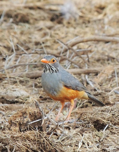 We had great looks at this African Bare-eyed Thrush at Samburu. (Photo by guide Terry Stevenson)